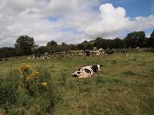 Castleblayney Cows