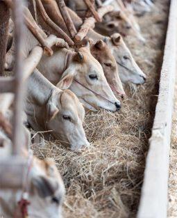 Vaches et protéines animales