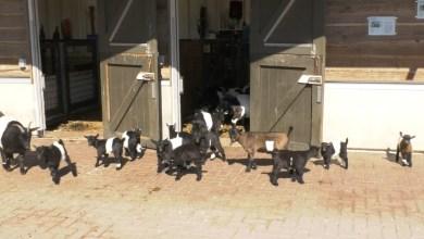 Photo of Geitjes kinderboerderij missen de bezoekers (video)