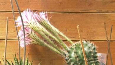Photo of Blij met de bloeiende cactus (video)