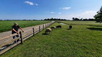 Vriendelijke schapen net voor Haringhuizen.