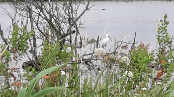 Een lepelaar op een eilandje aan de Oostkade.