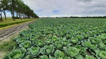 Deze regio is bekend om het verbouwen van allerlei koolsoorten.