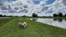 Een Hollands tafereel: schapen en een mooie wolkenlucht.