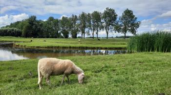 De schapen gaan gewoon door met hun bezigheid, grazen dus!
