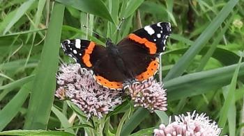 De Atalanta was ook van de partij op het 'vlinderpad'.
