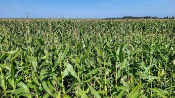 Velden met maïs, ook dat verbouwen ze op Wieringen
