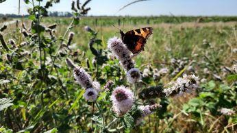Net voor het rondje klaar is nog even een vlinder op het pad