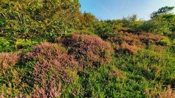 De hei staat in deze tijd in bloei en kleurt de route wat paars.
