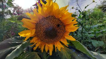 Prachtige zonnebloemen langs de kant van de weg