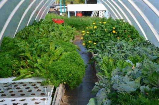 vegetables in aquaponics