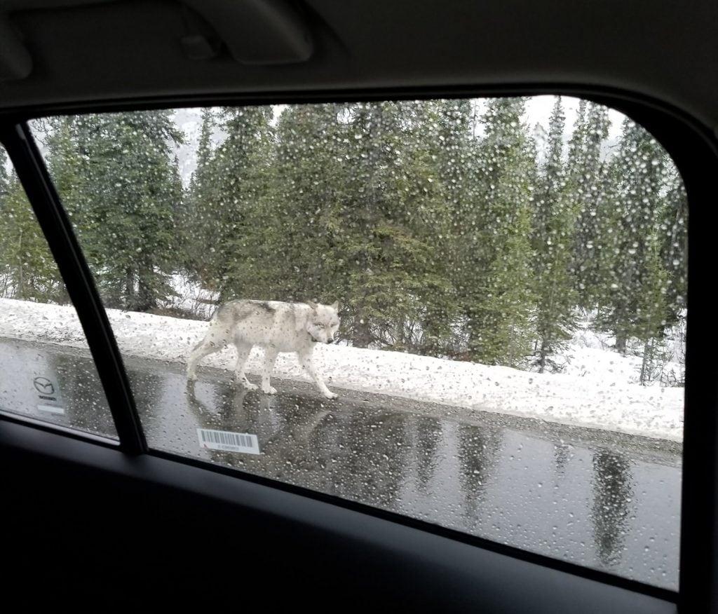 It was a wolf!