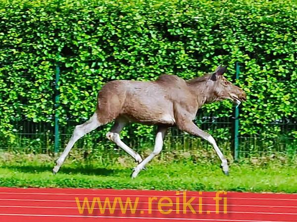 rénszarvas sprint