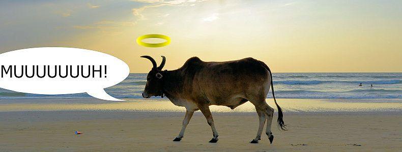 Kühe sind heilig in Indien