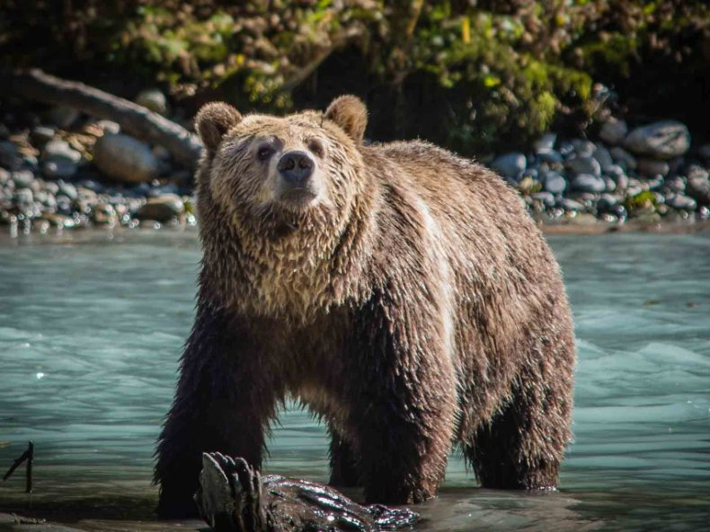 Into the Wilderness – Grizzlys hautnah