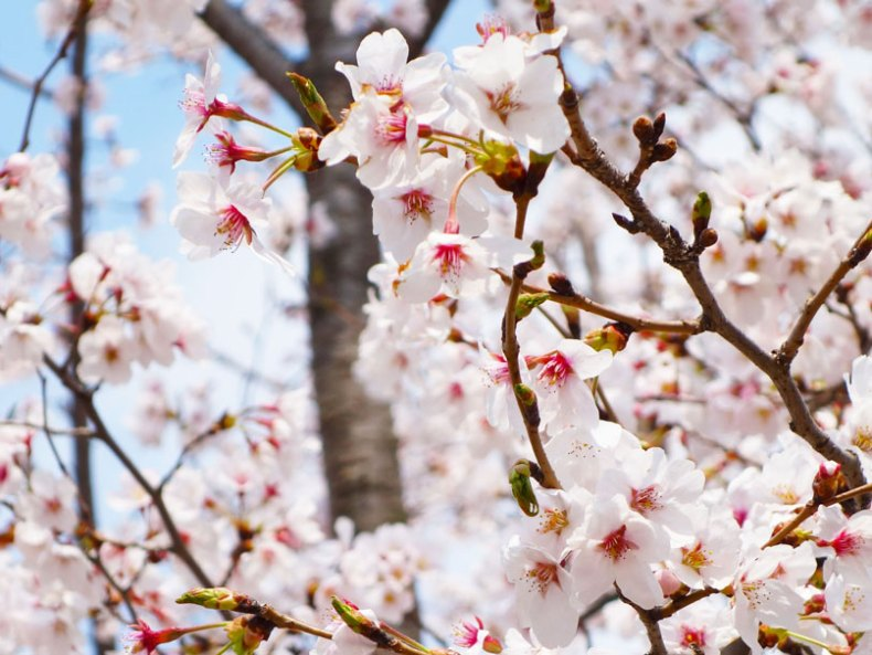 Gedanken zur Kirschblüte