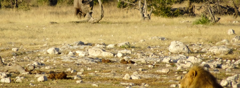 Nashorn und Löwe im Etosha-Nationalpark