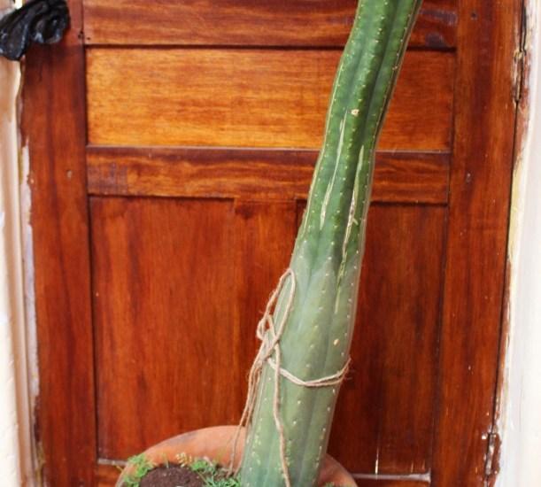 San Pedro Kaktus