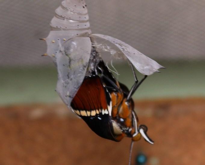 Geburt eines Schmetterlings