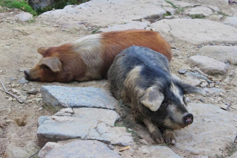 Isla del Sol Schweine