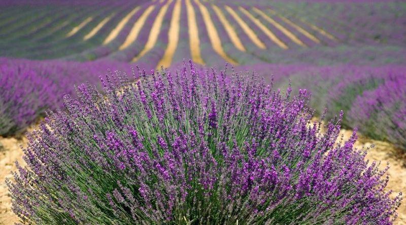 Frankreich_Lavendelfeld