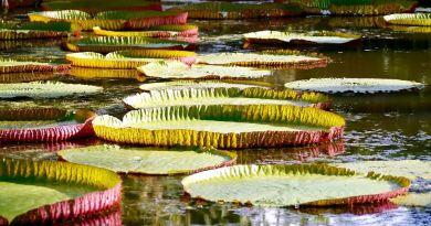 Seerosen im Botanischen Garten Pampelmousse Mauritius
