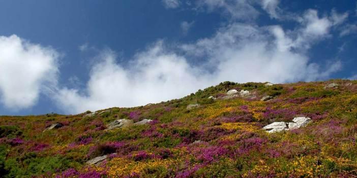 Ein Hügel in Irland mit gelben und lila Blumen übersät. Ein typisches Bild für Irlands Flora.