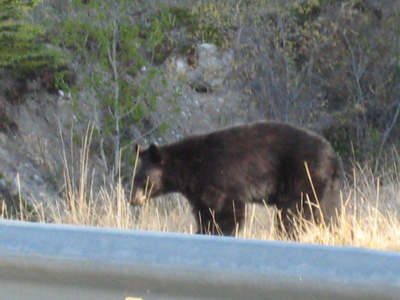 Kanada Bären