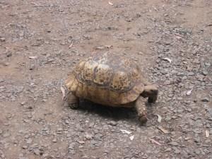 Hausschildkröte im Hostel