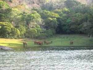 Indische Elefanten