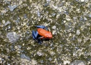 Giftiger Frosch