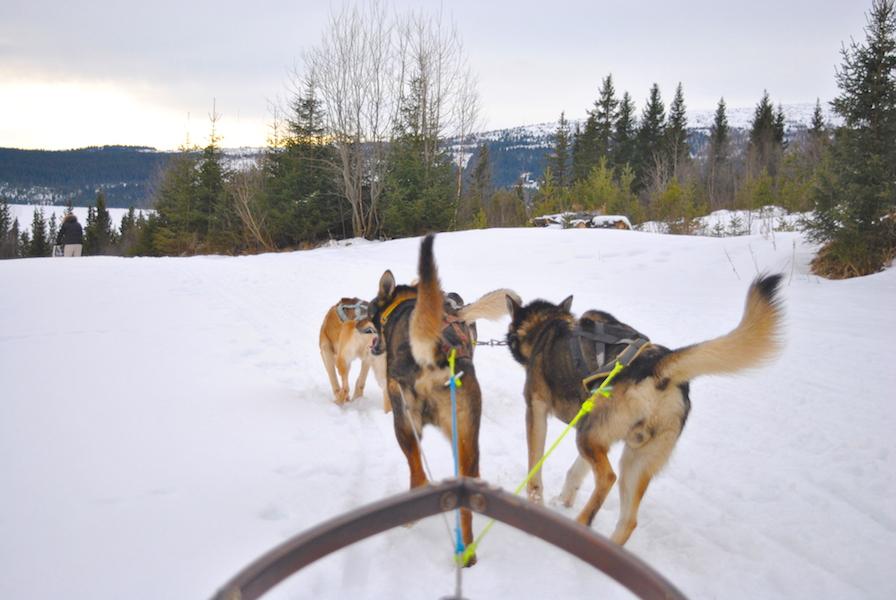hundekjøring med hundespann på beitostølen2