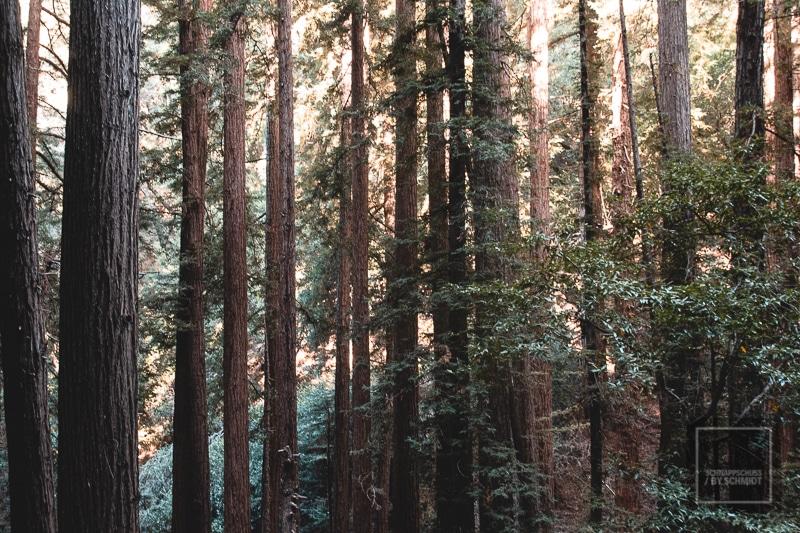 In den Tiefen der Muir Woods