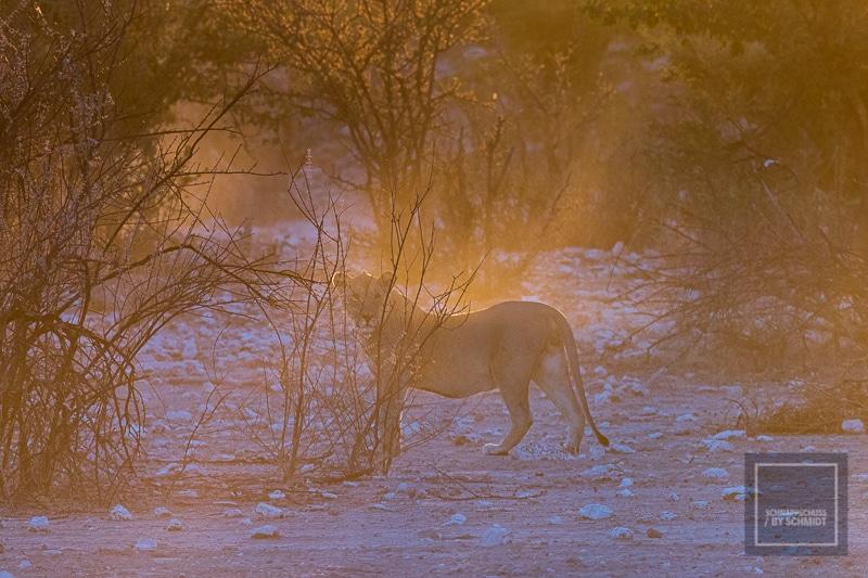 Etosha National Park - Löwe 3