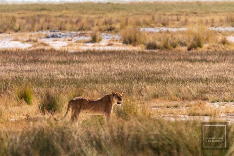 Etosha National Park - Löwe 1
