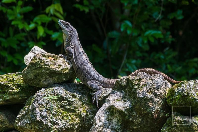 Mexiko Maya 1 - San Gervasio Gecko 2