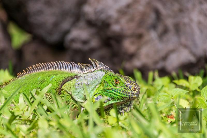 Mexiko Maya 1 - San Gervasio Gecko 1