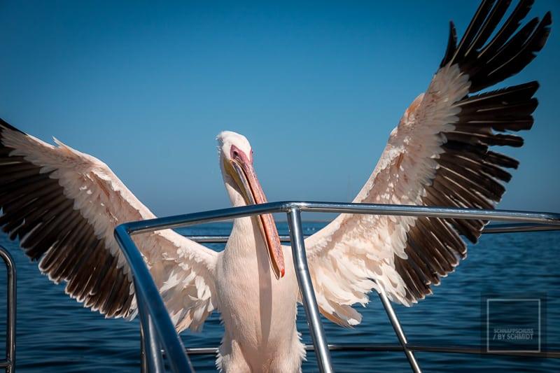 Namibia Rundreise 3 - Pelikan