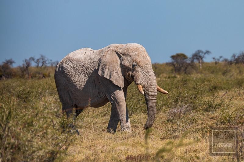 Namibia Rundreise 4 - Elefant