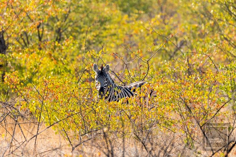 Namibia Rundreise 4 - Zebra