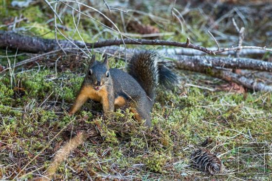 North Cascades National Park - Hörnchen