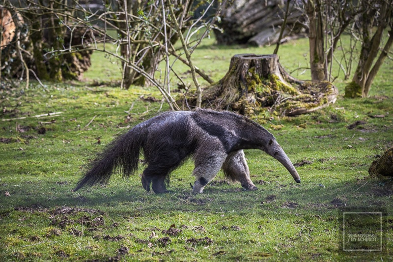 Zoo Dortmund - Ameisenbär