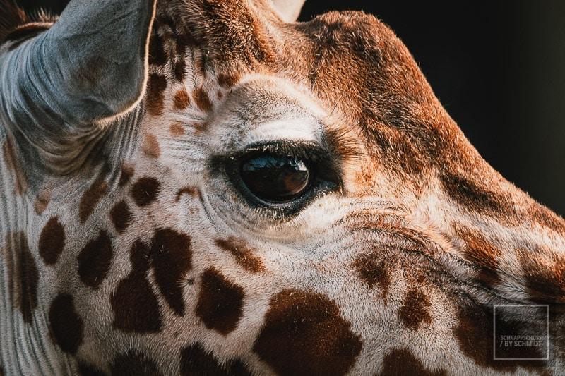Allwetterzoo Münster - Giraffe