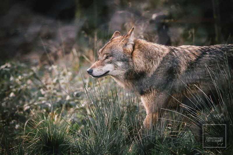 Anholter Schweiz - Wolf 2
