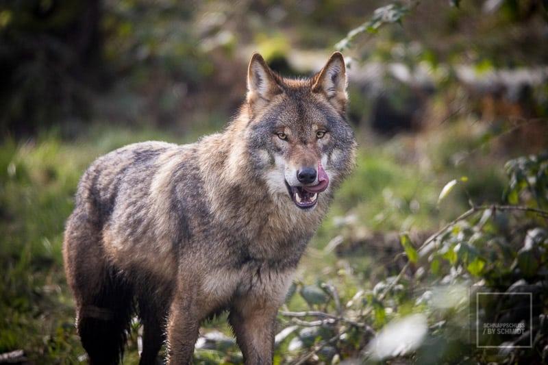 Anholter Schweiz - Wolf