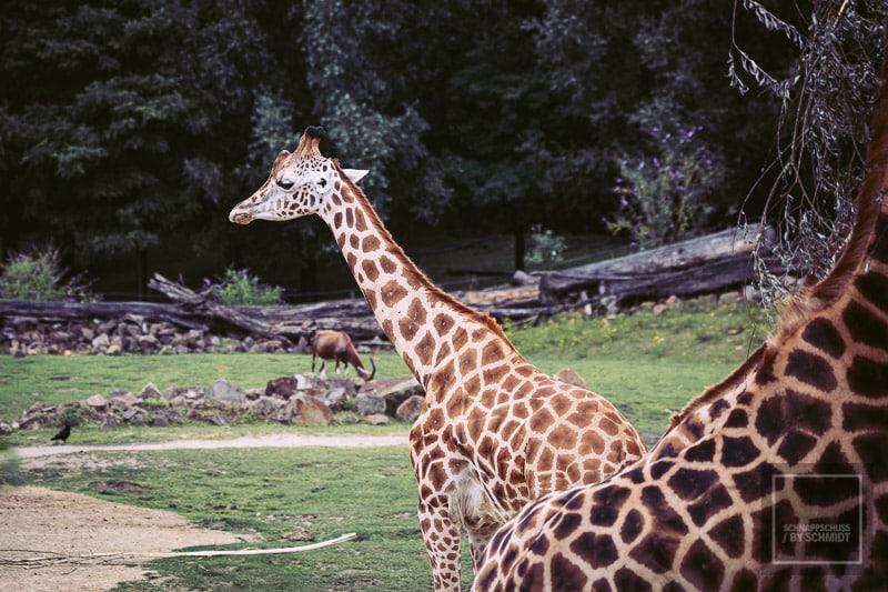 Zoom Erlebniswelt Giraffe