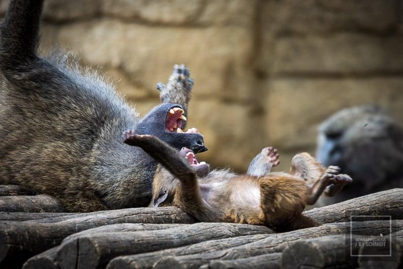 Zoom Erlebniswelt lustige Affen