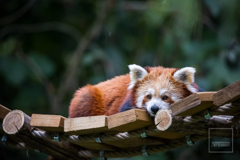 Zoom Erlebniswelt Roter Panda