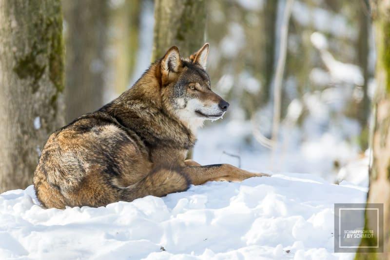 Zoos und Tierparks: Wolf