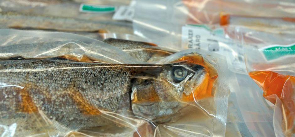 Norwegische Spezialität Rakfisk Norwegen Essen